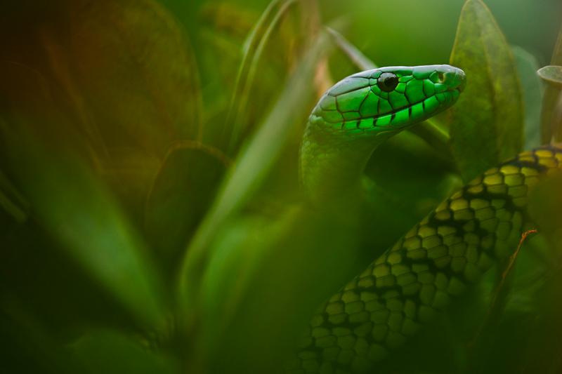 Green mamba by Mattias A. Klum